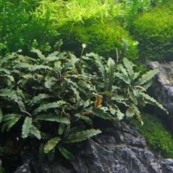 Bucephalandra spec. ´Wavy Leaf´ 1