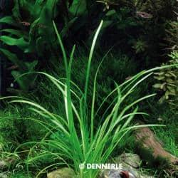 Sagittaria subulata var. pusilla - Zwergpfeilkraut 1