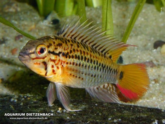 Quelle: Aquarium Dietzenbach - Herbert Nigl