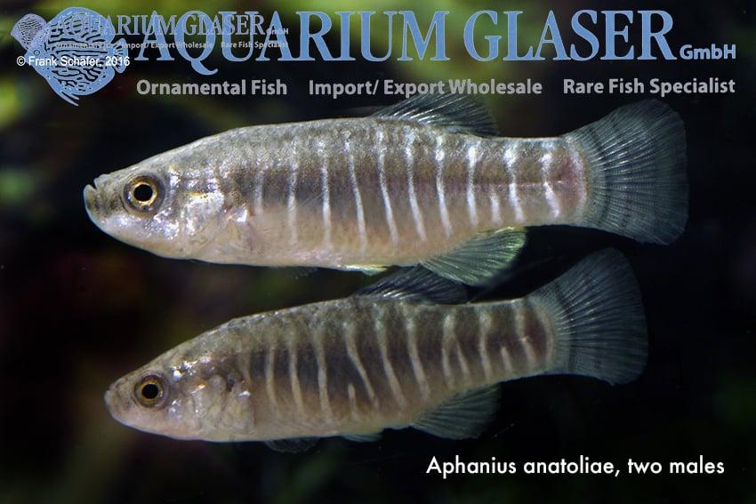 Aphanius farsicus 4