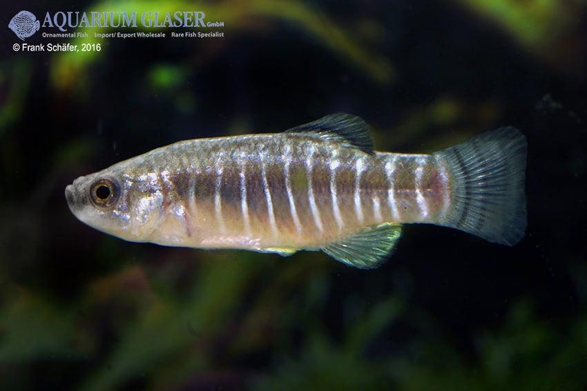 Aphanius farsicus 5