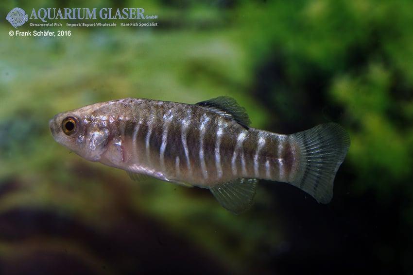 Aphanius farsicus 6