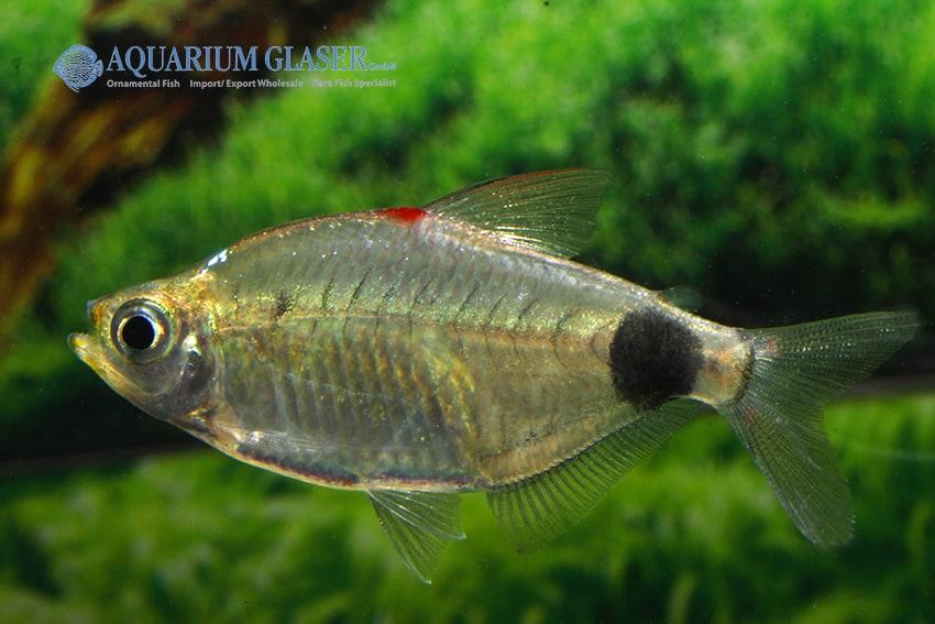 Bathyaethiops caudomaculatus 7