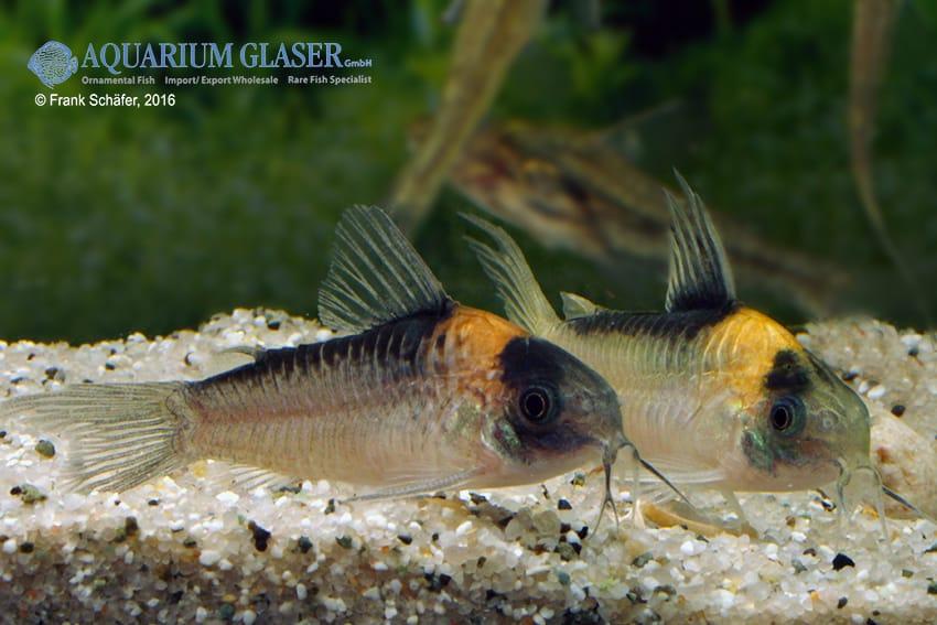 Corydoras njisseni - Orange-Fleck 1