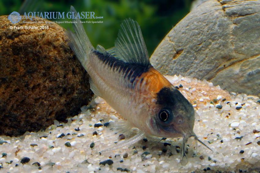 Corydoras njisseni - Orange-Fleck 2