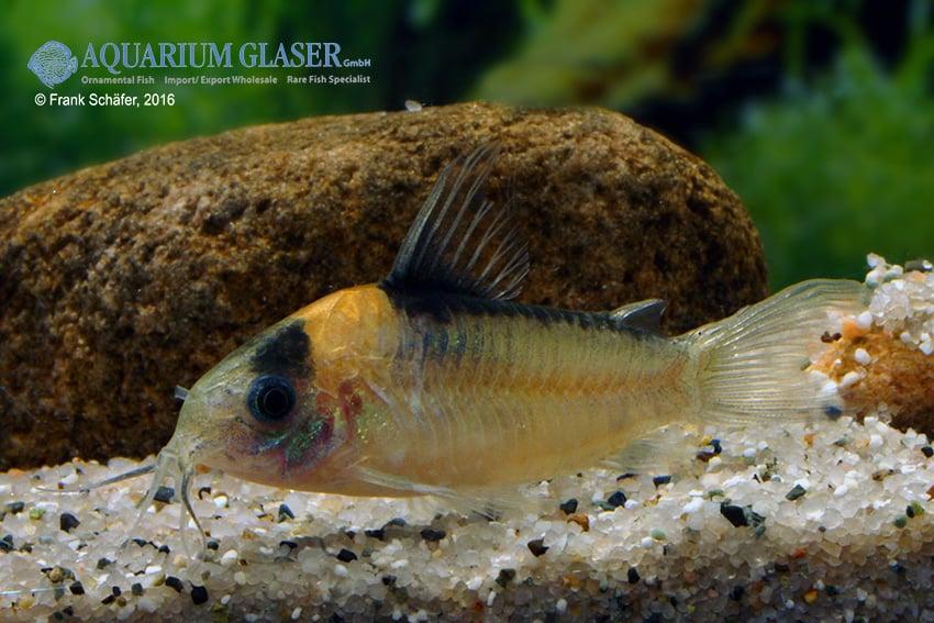 Corydoras njisseni - Orange-Fleck 4