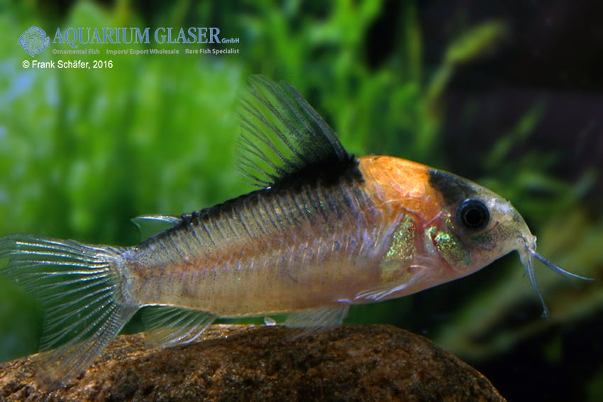 Corydoras njisseni - Orange-Fleck 3