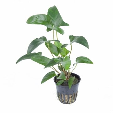 Anubias gracilis 2