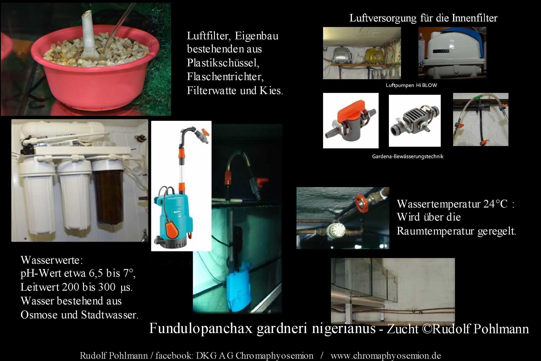 Fundulopanchax gardneri nigerianus