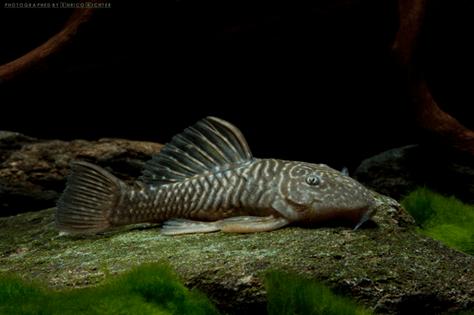 """Parancistrus aurantiacus """"WF Brasilien"""" 6-7cm"""