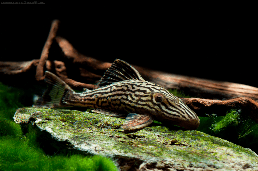 "L027 Panaque cf. armbrusteri ""Xingu"" 5-7cm"