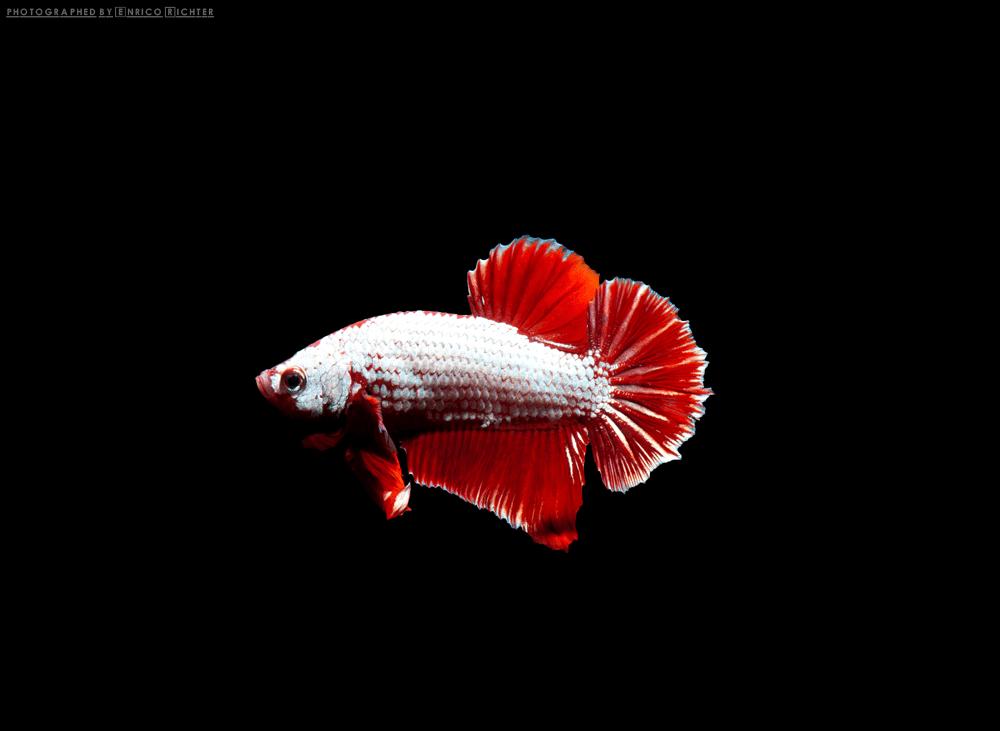 Betta splendens Foto: aqua-global