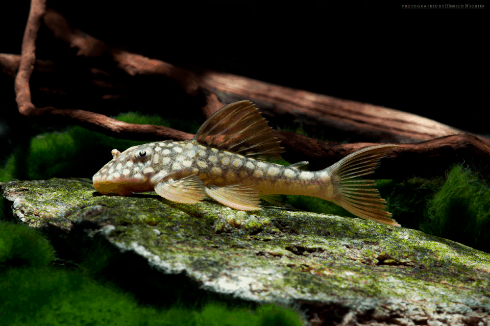 "L014 Scobinancistrus aureatus ""WF Brasilien"" 5-6cm"