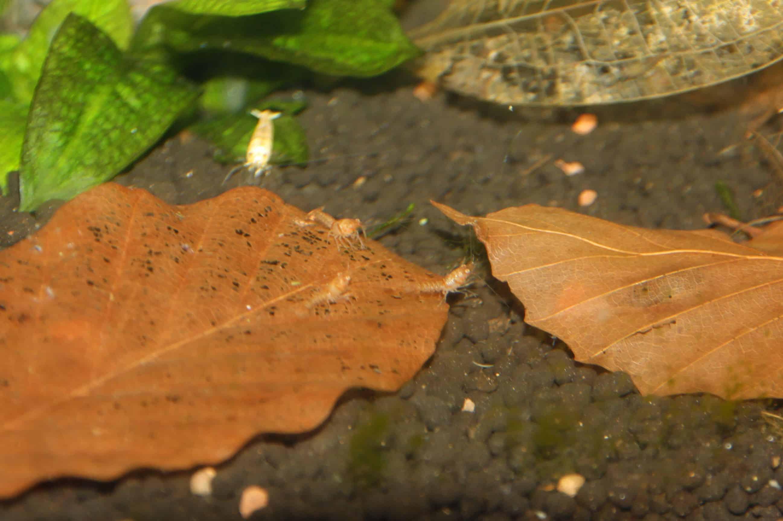 Cambarellus patzcuarensis sp.orange