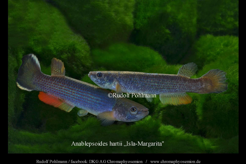Anablepsoides hartii (Männchen und Weibchen)