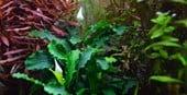 Bucephalandra spec. ´Wavy Leaf´ 2