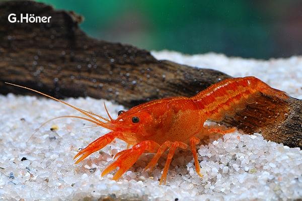 Cambarellus_patzcuarensis_orange_CPO_n1