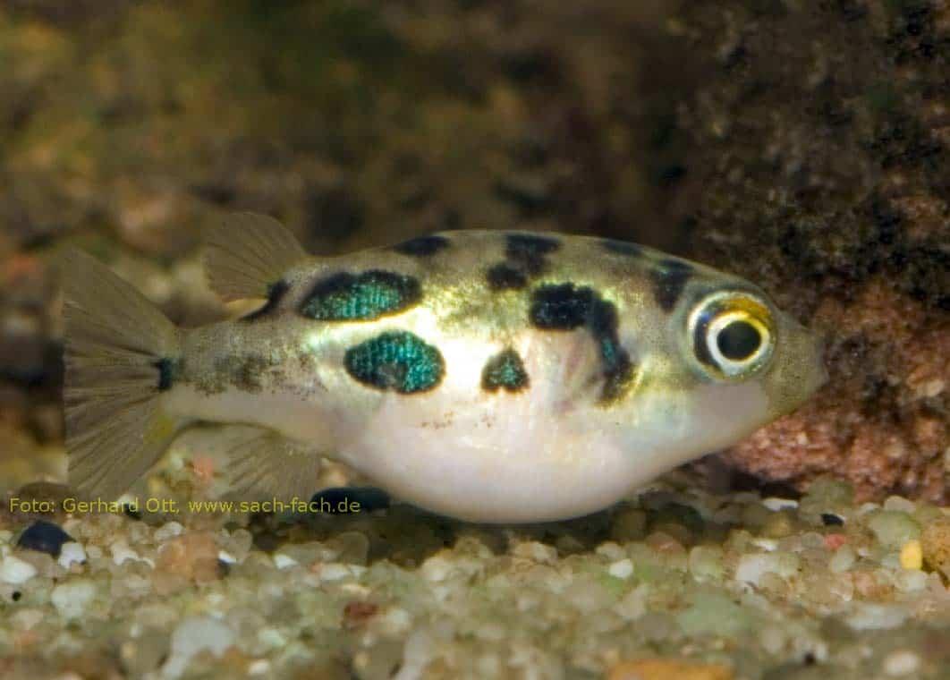 Erbsenkugelfisch goes Knallerbse: Den Bauch voll mit Artemia-Nauplien