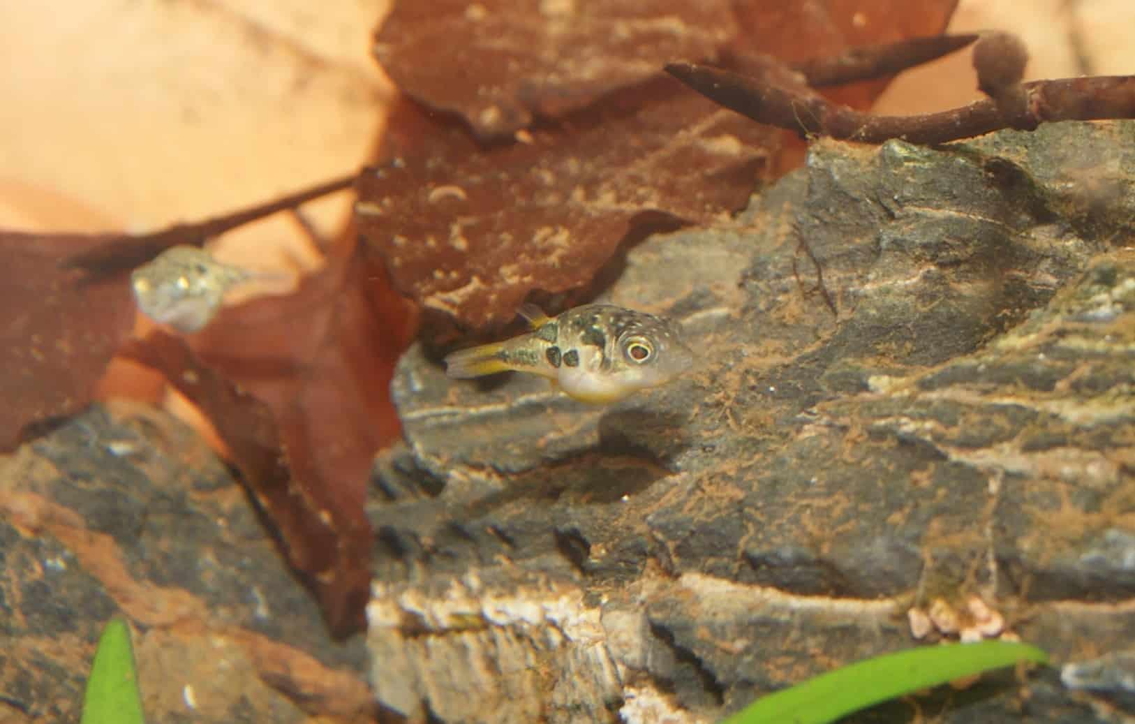 Leopard Zwergkugelfisch