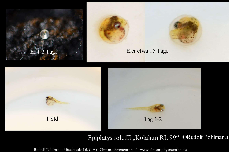 Epiplatys roloffi (Eier und Larven)