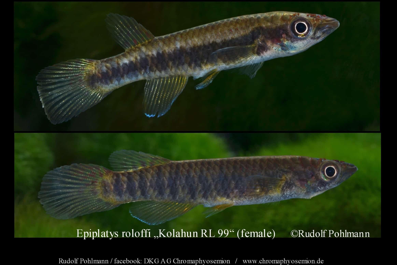 Epiplatys roloffi (Weibchen)