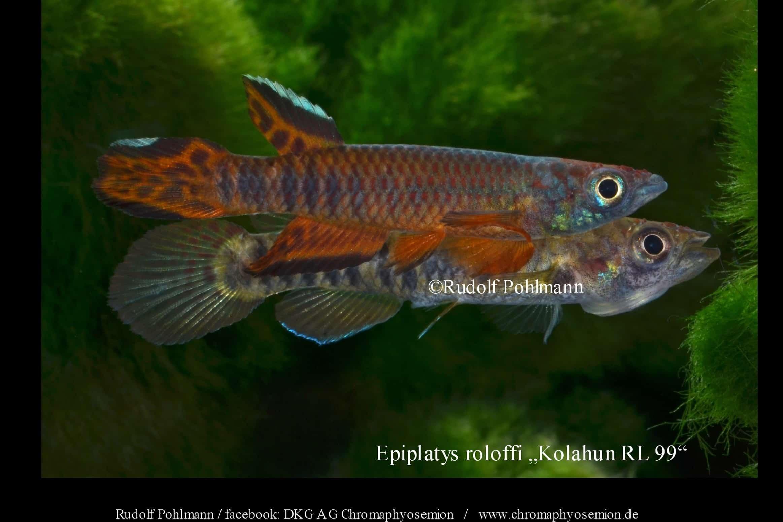 Epiplatys roloffi (Männchen und Weibchen)