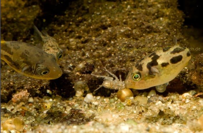 Erbsenkugelfische attackieren Wasserassel