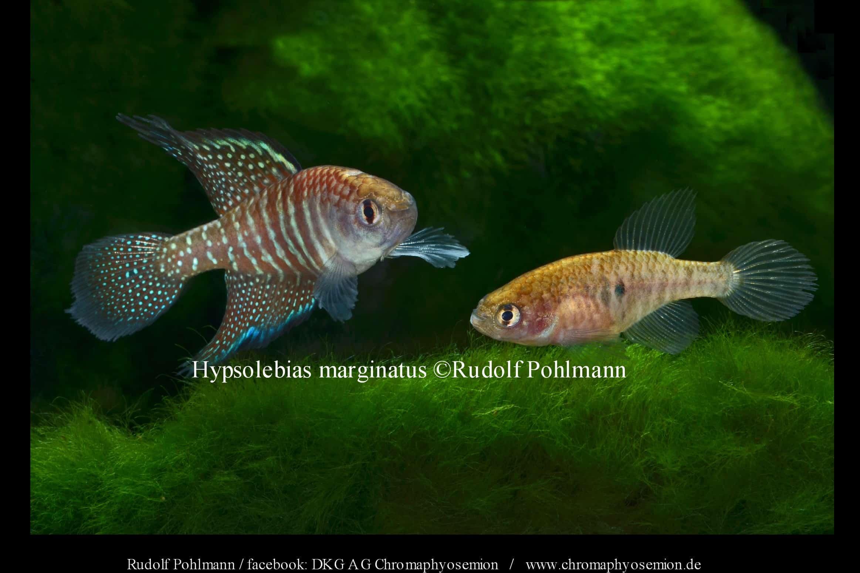 Hypsolebias marginatus