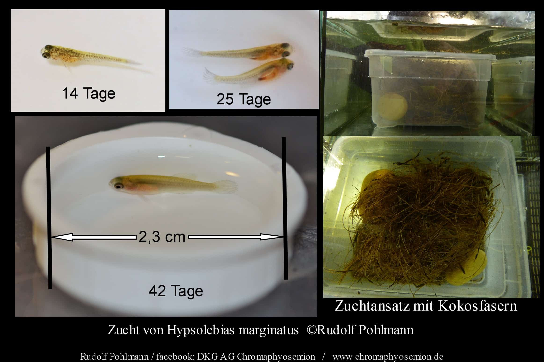 Zucht von Hypsolebias marginatus Update 1 / 14.10.2014