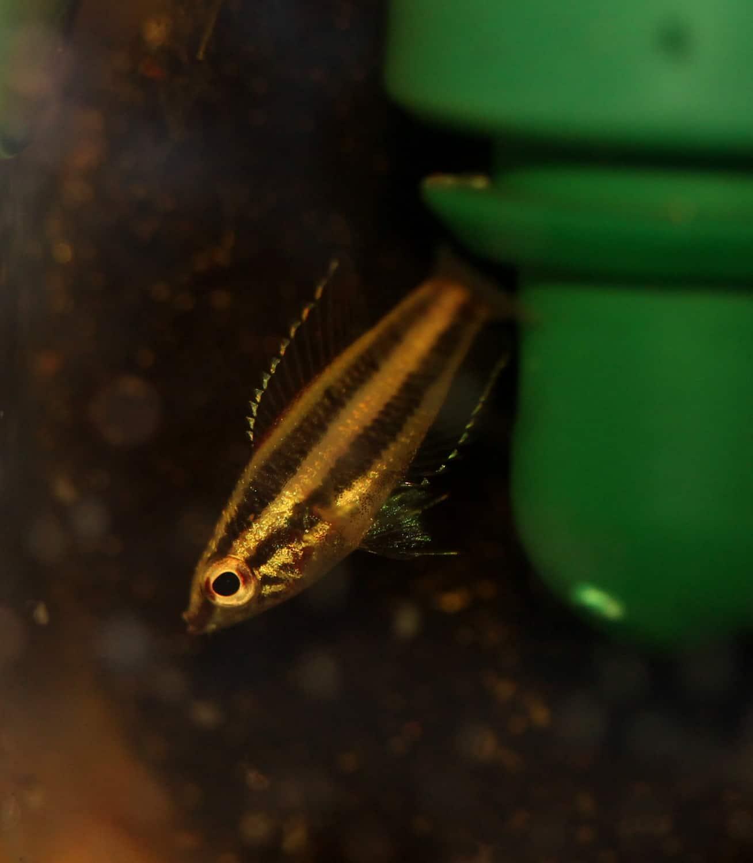 Parosphromenus phoenicurus