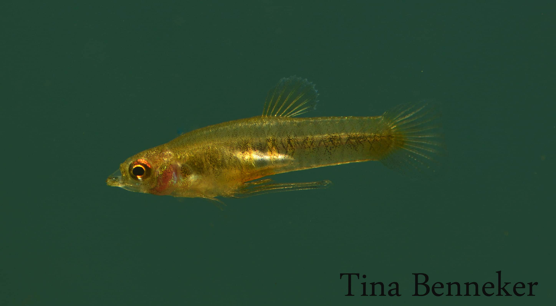 Neoheterandria elegans Männchen