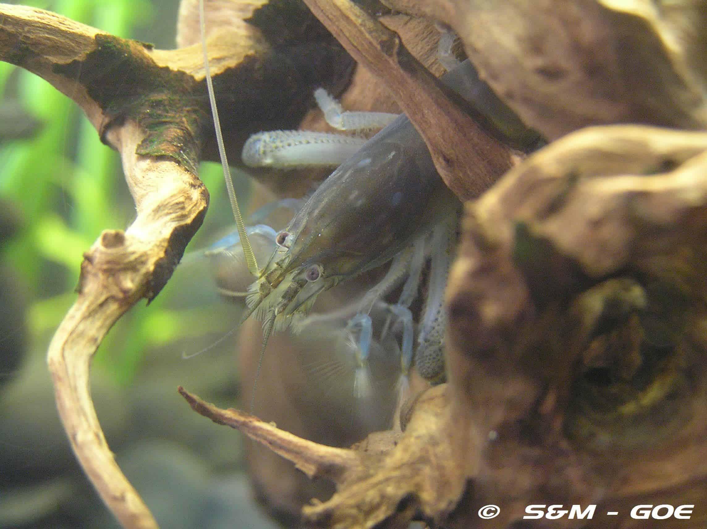 Das Weibchen ( Elterntier )