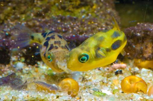 Erbsenkugelfisch beim Beute machen