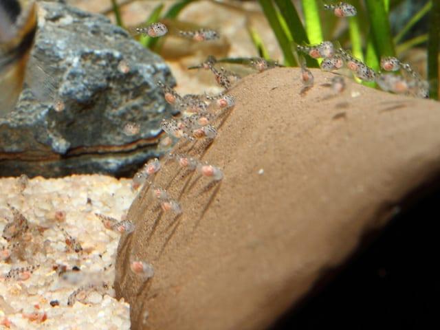 Wa-Pelvicachromis-pulcher-X