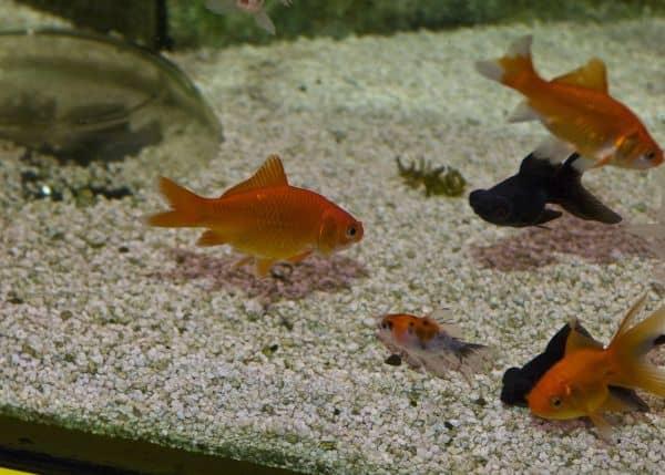 Foto: FLH. - Ein paar Diättage sind für die meisten Aquarienfische kein Problem, wer aber sichergehen will, macht sich im Zoofachhandel schlau.