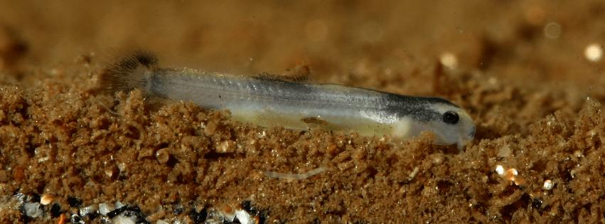 21.09.2014: Dottersack noch deutlich zu erkennen, Jungtier bekommt bereits schwarze Pigmente, max. 5 Tage alt und 1 cm groß.