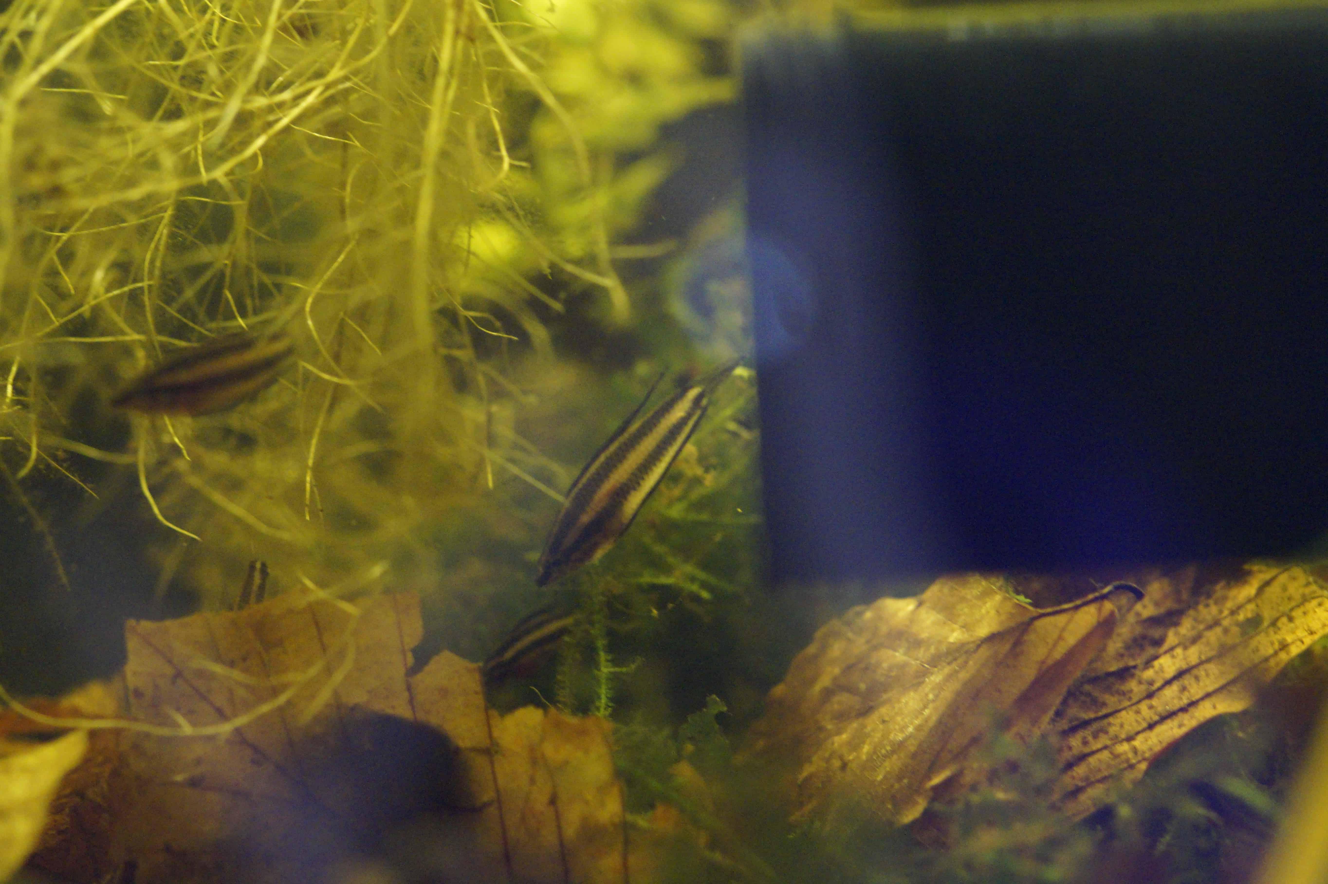 werden die P. phoenicurus auch so langsam zum Schwarmfisch?