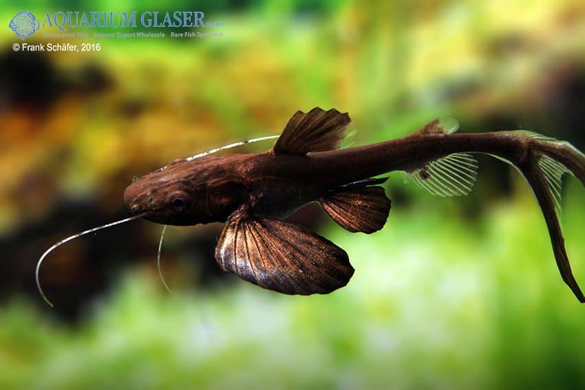 Raritäten & Neuimporte im Fokus 216 *Große Fische Spezial* 15