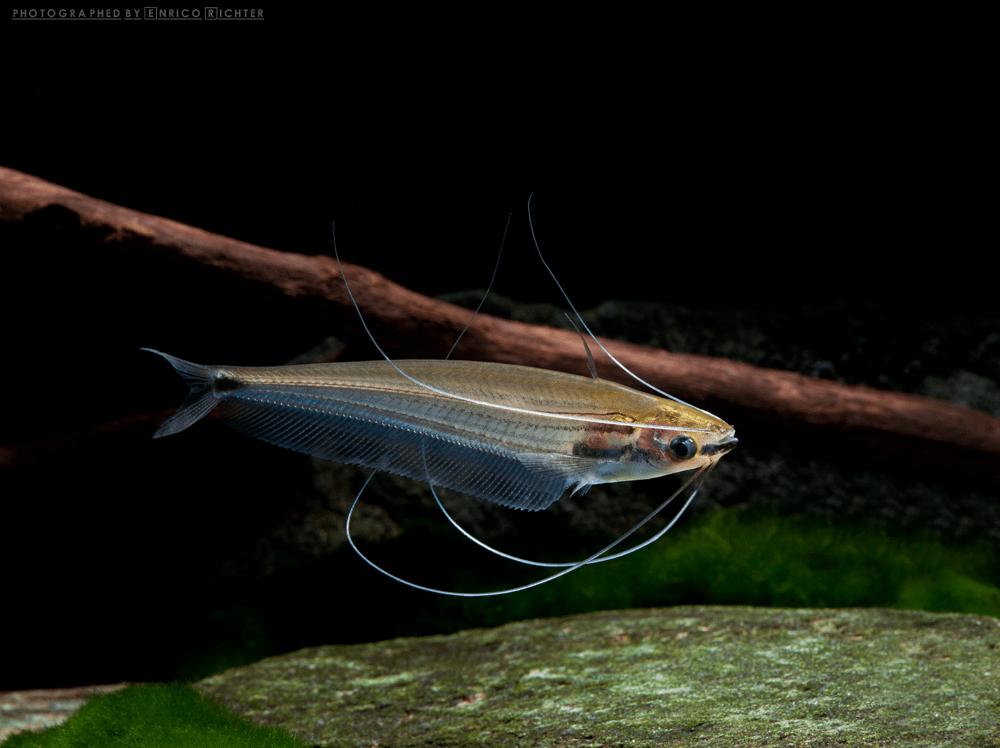 Ompok eugeniatus 5-6cm