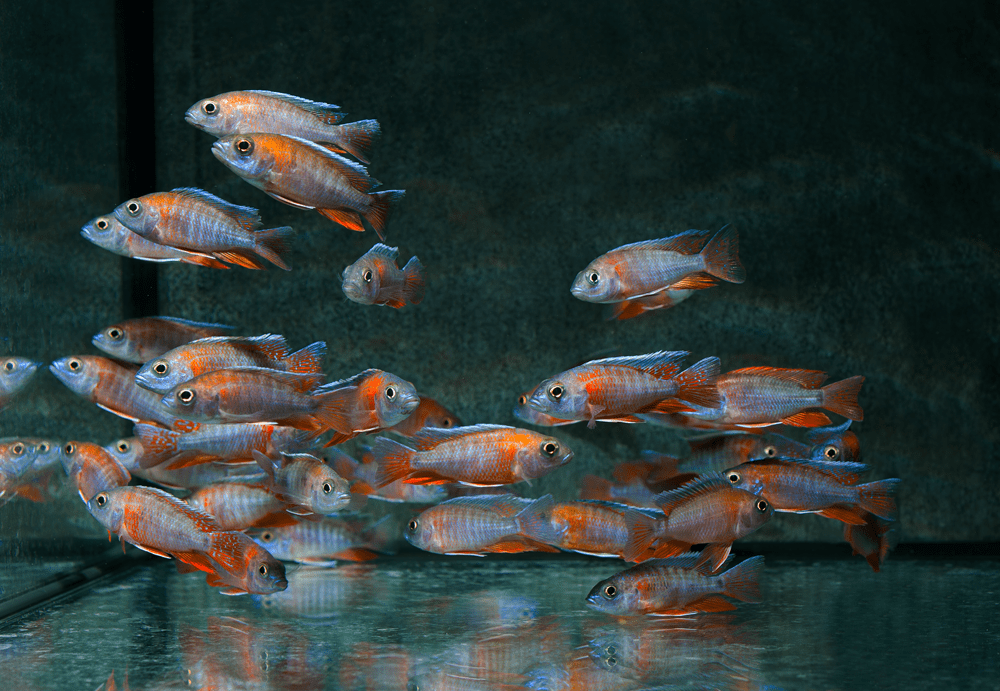 """Kaiserbarsch """"Rot Rubin"""" 7-8cm Foto: aqua-global"""