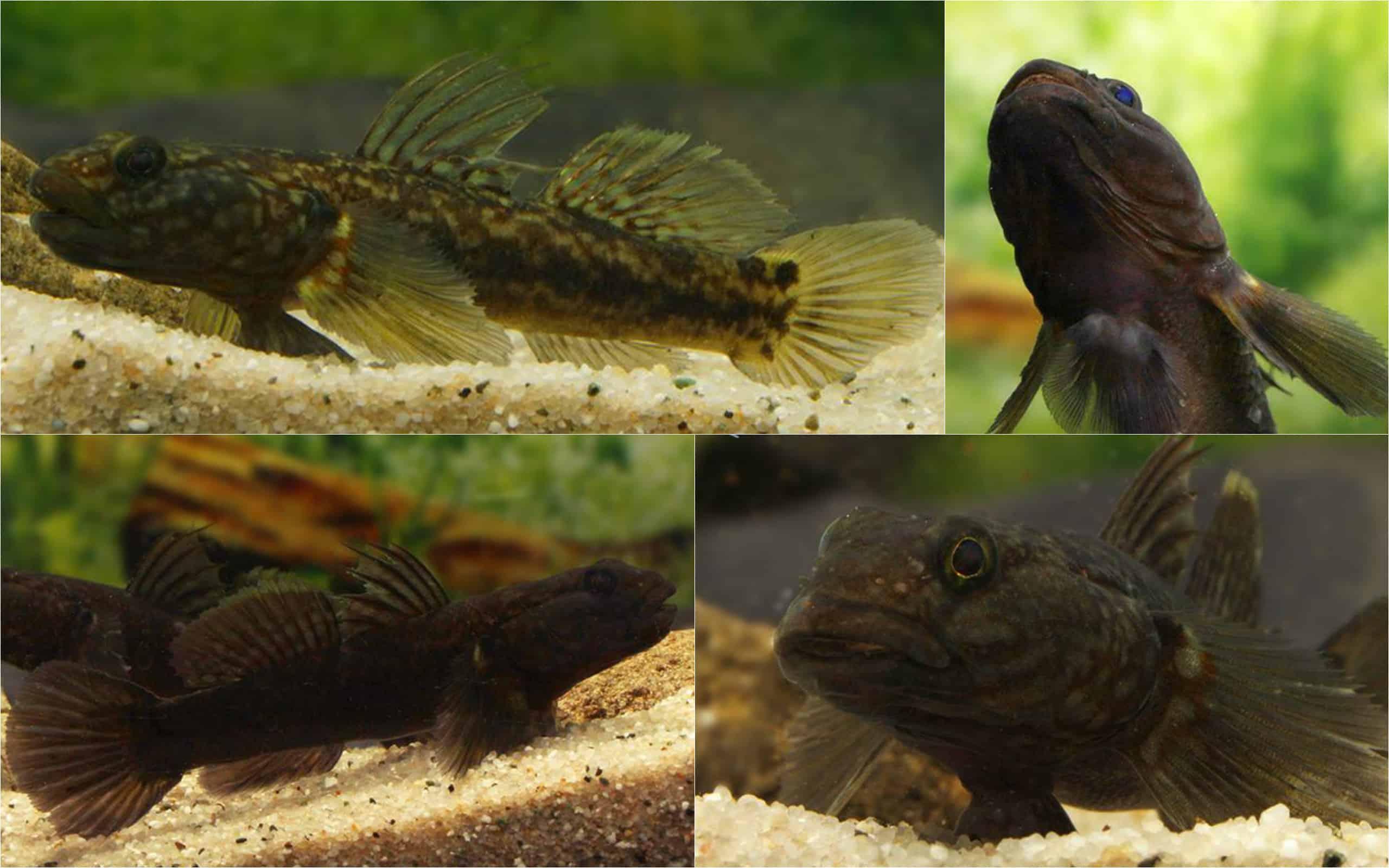 Papuliogobius uniporös Quelle: Aquarium Glaser
