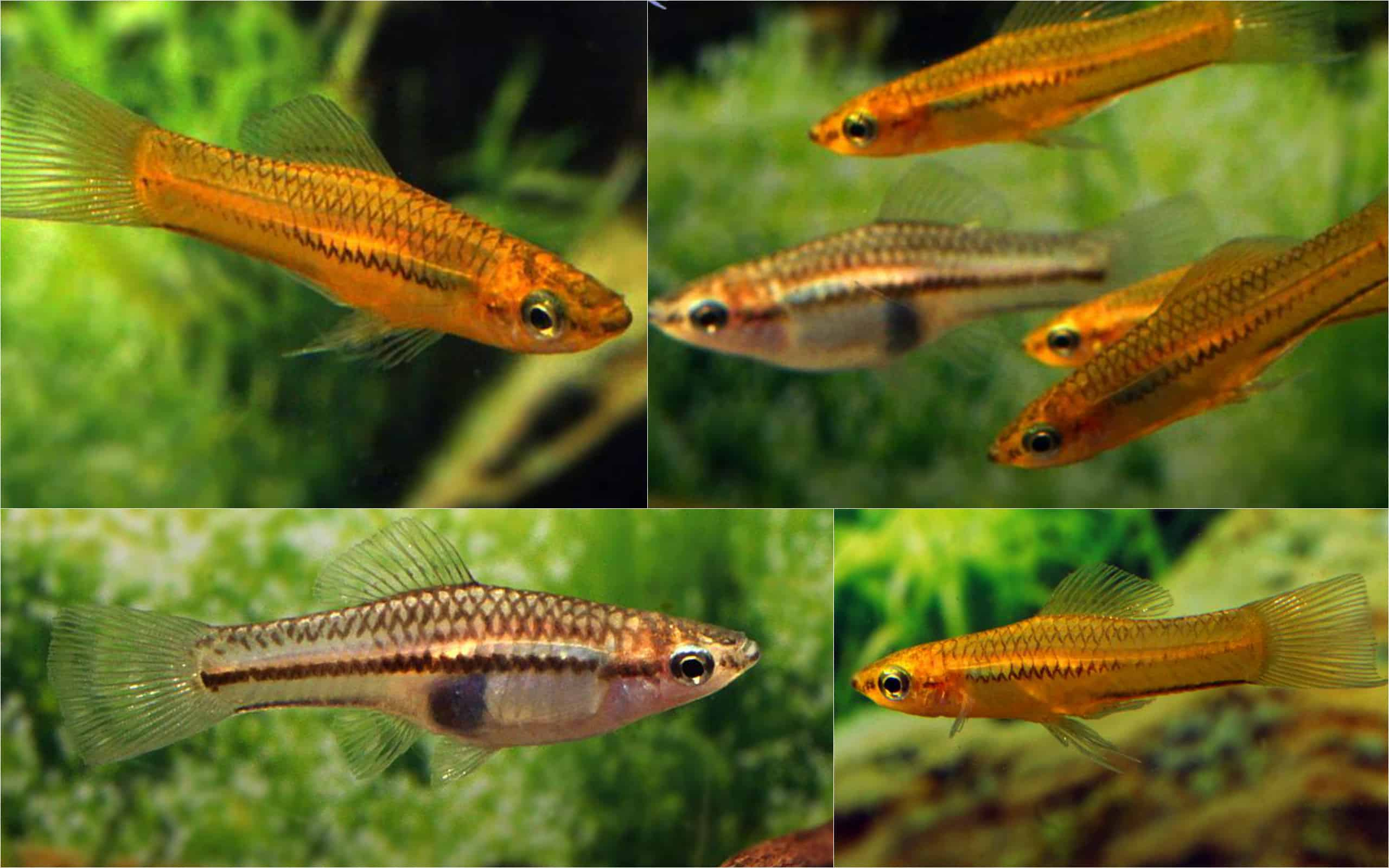 Xiphophorus pygmaeus Quelle: Aquarium Glaser