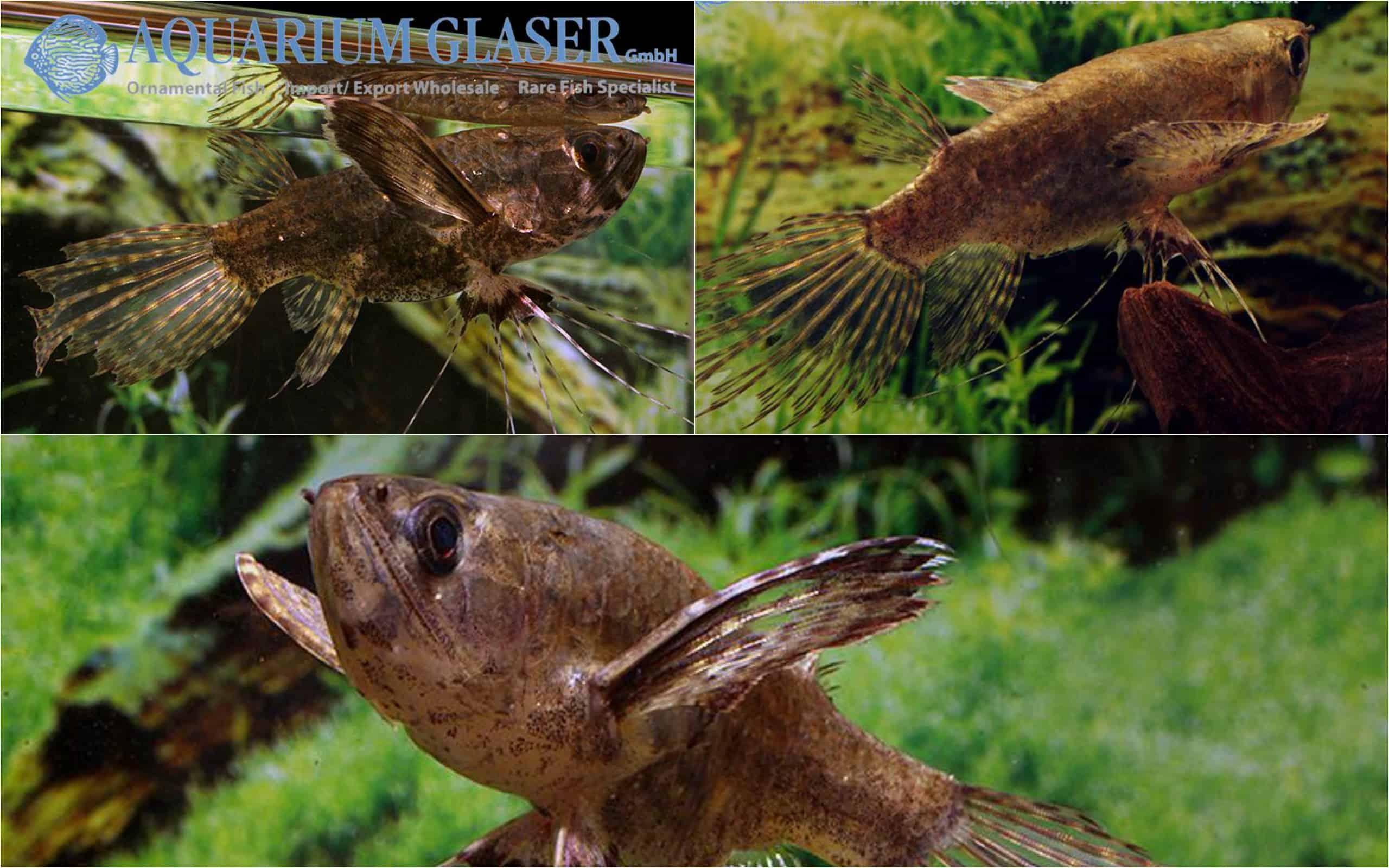 Pantodon buchholzi Quelle Aquarium Glaser