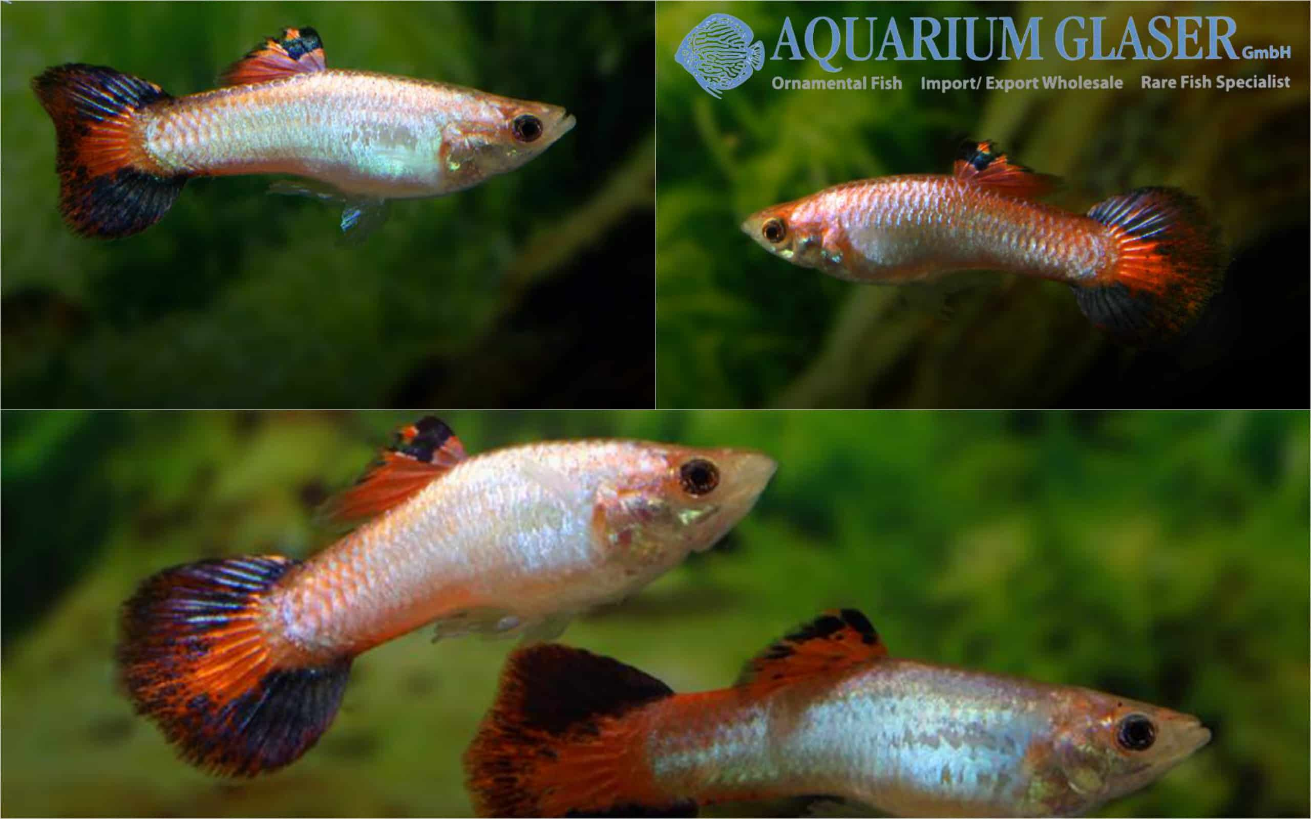 Guppy Coral Tail
