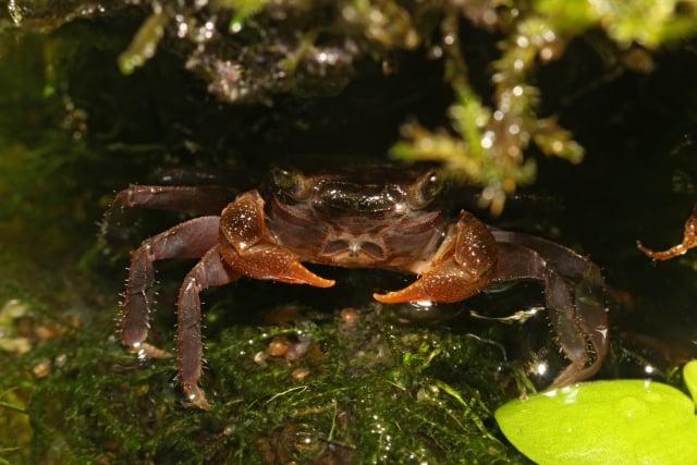 Foto: Diese halbwüchsige Krabbe besitzt schon relativ große Scheren und dürfte bald geschlechtsreif sein. Ingo Botho Reize