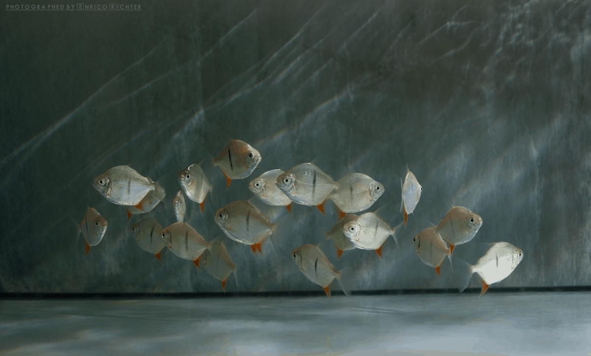 "Myloplus schomburgkii ""Xingu"" 6-7cm , NZ Foto: aqua-global"