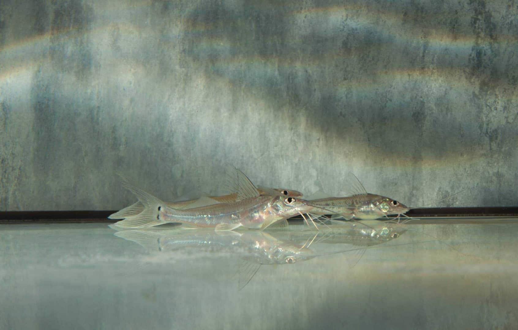 "Megalonema platycephalum ""WF Peru"" 6-8cm Foto: aqua-global"
