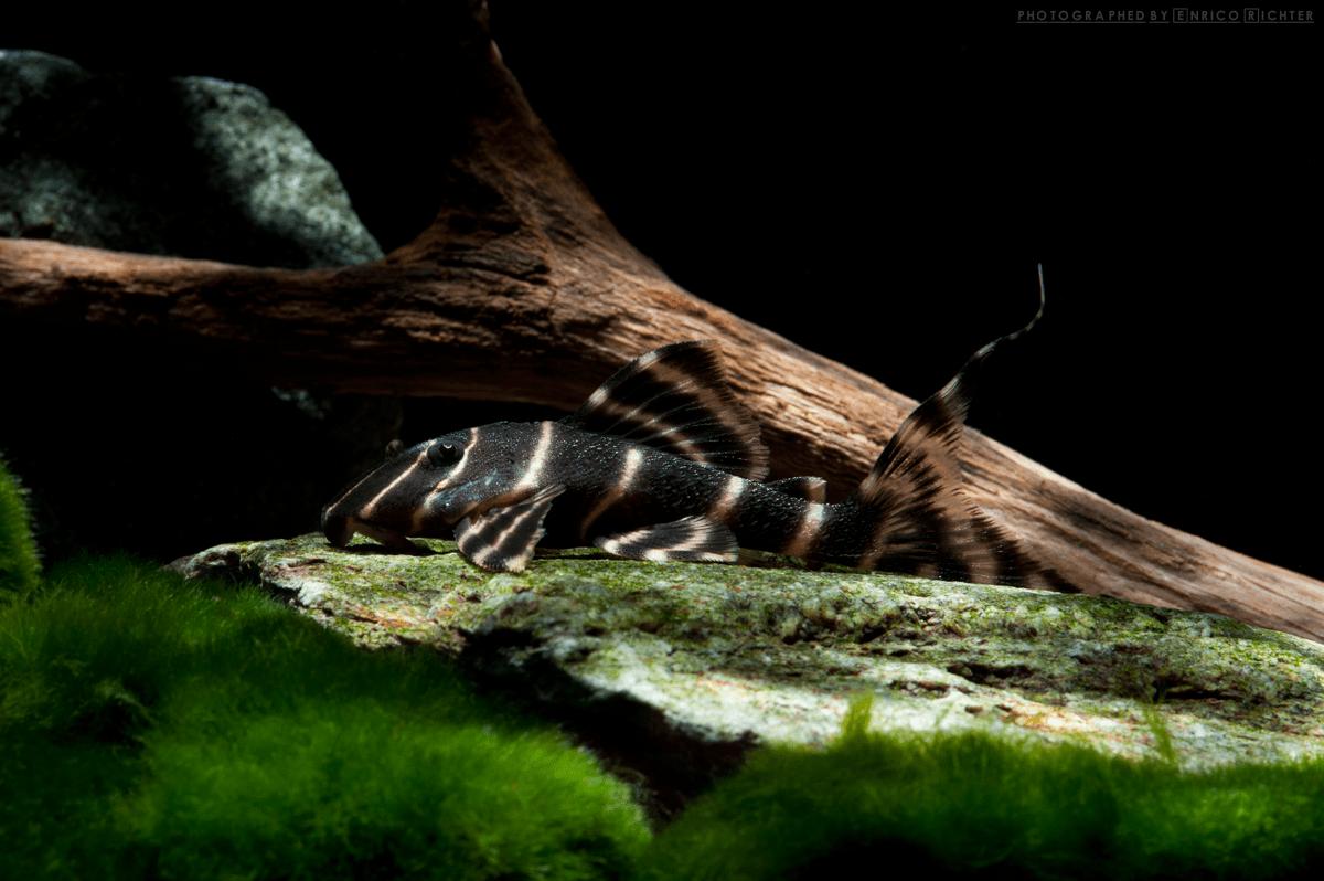 """L204 Panaqolus albivermis """"WF Peru"""" 5-6cm"""