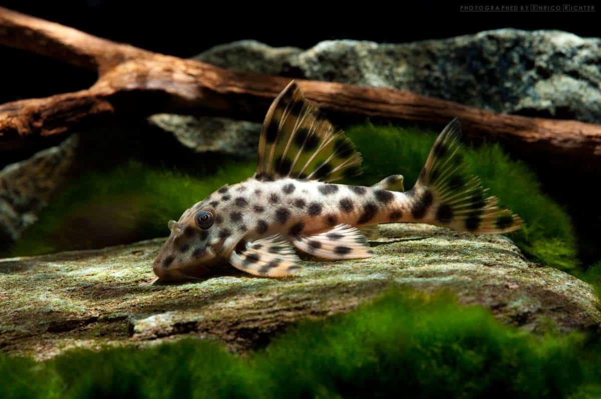 "L006 Peckoltia oligospila ""WF Brasilien"" 7-9cm Foto: aqua-global"