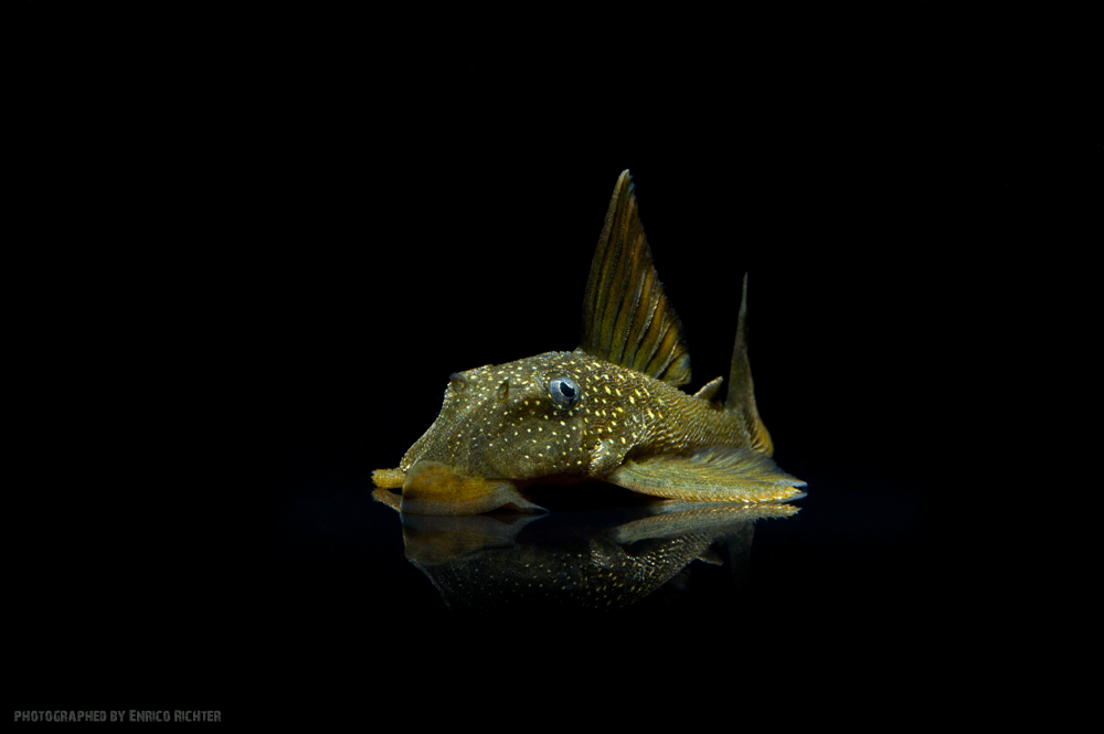 L200 Green Phantom Pleco